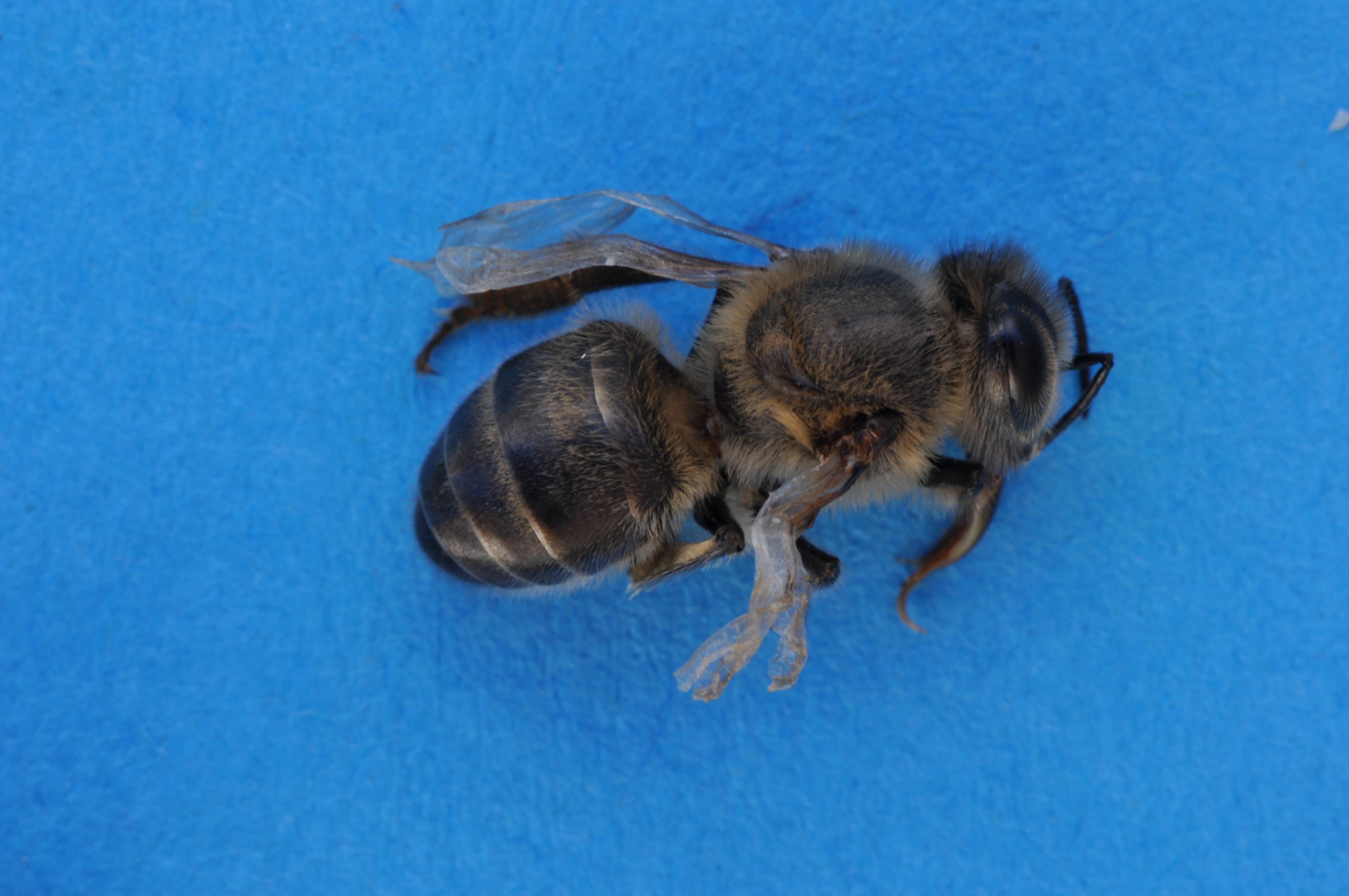 Programme de sauvetage des abeilles dans le canton de for Lien dans une nouvelle fenetre